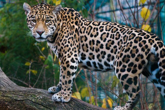 jaguar w opolskim zoo