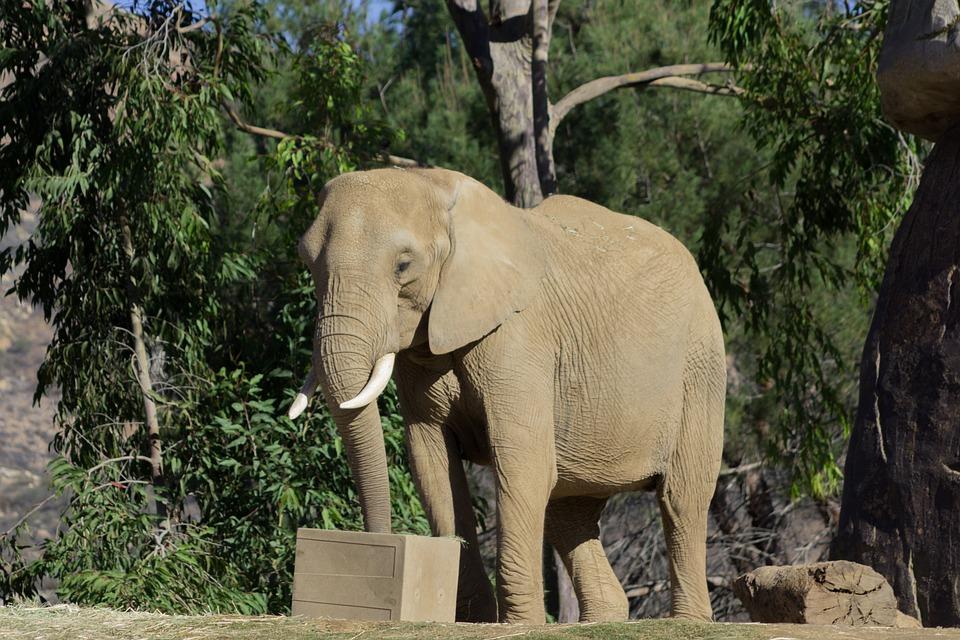 Słoń na wybiegu w ZOO