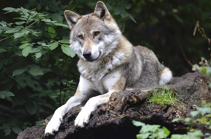 Wilk w parku dzikich zwierząt