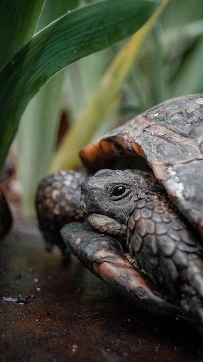 Żółw chowający się w skorupie