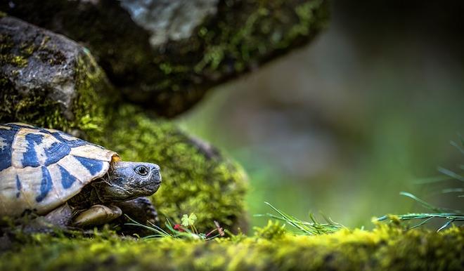 Żółw idący po trawie