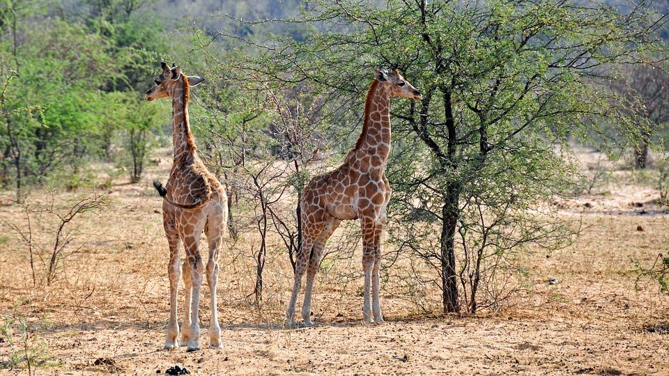 żyrafy w zoo